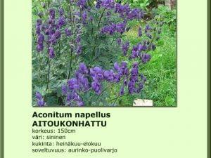 Aconitum napellus, Aitoukonhattu