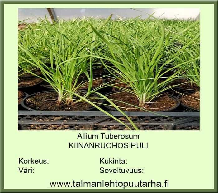 Allium tuberosum valkosip.makkuinen Kiinanruohosipuli