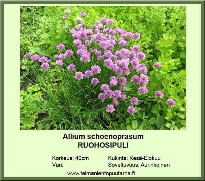 Allium schoenoprasum Ruohosipuli
