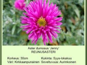 Aster dumosus 'Jenny' Reunusasteri