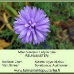 Aster dumosus 'Lady in Blue'