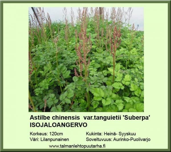 Astilbe chinensis var.tag. 'Superba' Isojaloangervo