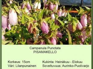 Campanula punctata Pisamakello