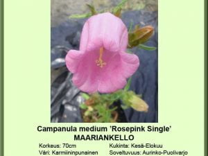 Campanula medium 'Rosepink Single' Maariankello