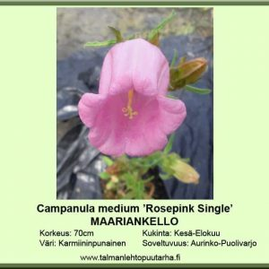 Campanula medium 'Rosepink Single' Maariankello