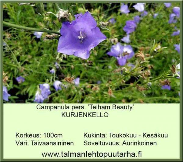 Campanula pers. 'Telham Beauty' Kurjenkello