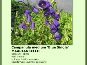 Campanula medium 'Blue Single' Maariankello
