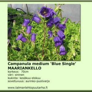 Campanula medium 'Blue Single' Maariankello