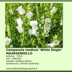 Campanula medium 'White single' Maariankello