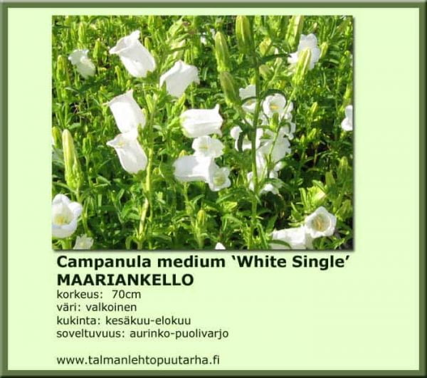 Campanula medium 'White single' Maariankello