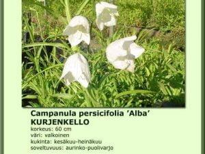 Campanula persicifolia 'Alba' Kurjenkello