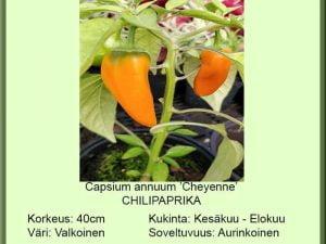 Capsicum annuum 'Cheyenne F1' Chilipaprika