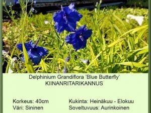 Delphinium grandifl. 'Blue Butterfly' Kiinanritarinkannus