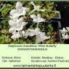 Delphinium grandifl. 'White Butterfly' Kiinanritarinkannus