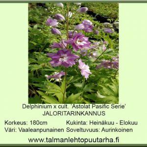 Delphinium x cult.'Astolat Pacific Serie' Jaloritarinkannus