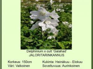 Delphinium x cult. 'Galahad' Jaloritarinkannus