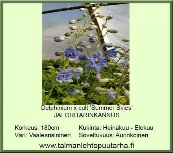 Delphinium x cult. 'Summer Skies' - Jaloritarinkannus 1
