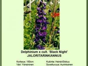 Delphinium x cult. 'Black Night' Jaloritarinkannus
