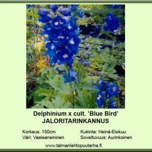 Delphinium x cult. 'Blue Bird' Jaloritarinkannus