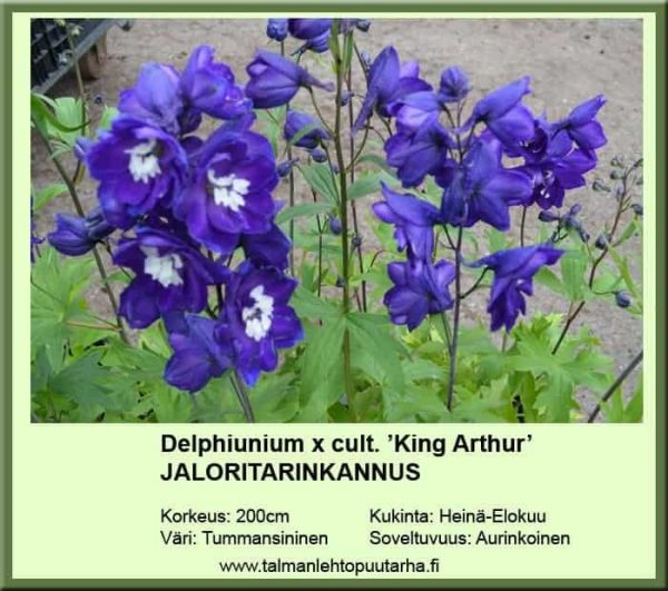 Delphinium x cult. 'King Arthur' Jaloritarinkannus