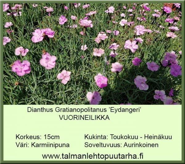 Dianthus gratianopolitanus 'Eydangeri' Vuorineilikka