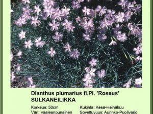 Dianthus plumarius fl. Pl. 'Roseus' sulkaneilikka