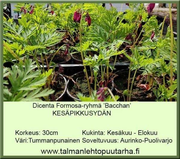 Dicentra Formosa 'Bacchanal' Kesäpikkusydän