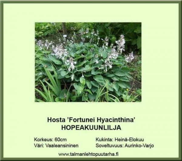 Hosta Fort.-Ryhmä 'Hyacinthina' Hopeakuunlilja