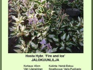 Hosta Tarhaf.-Ryhmä 'Fire and Ice' Jalokuunlilja