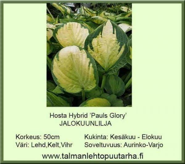 Hosta Hybr. 'Pauls Glory' Jalokuunlilja