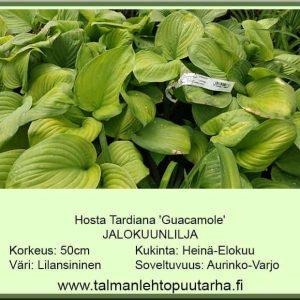 Hosta Tardiana-Ryhmä 'Guacamole' Jalokuunlilja