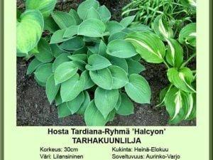 Hosta Tardiana-Ryhmä 'Halcyon' Tarhakuunlilja