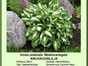 Hosta undulata 'Mediovariegata' Kirjokuunlilja