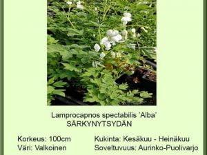 Lamprocapnos spect. 'Alba' (Dicentra) Särkynytsydän