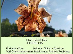 Lilium lancifolium Tiikerililja