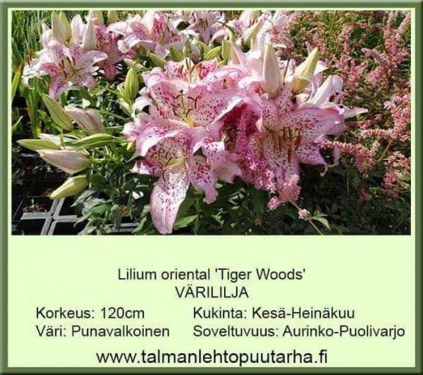 Lilium oriental-ryhmä 'Tiger woods' Värililja