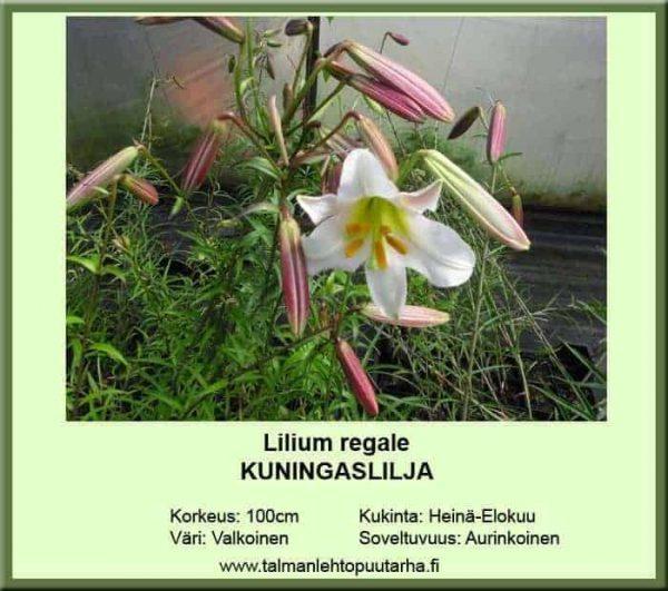 Lilium regale Kuningatarlilja