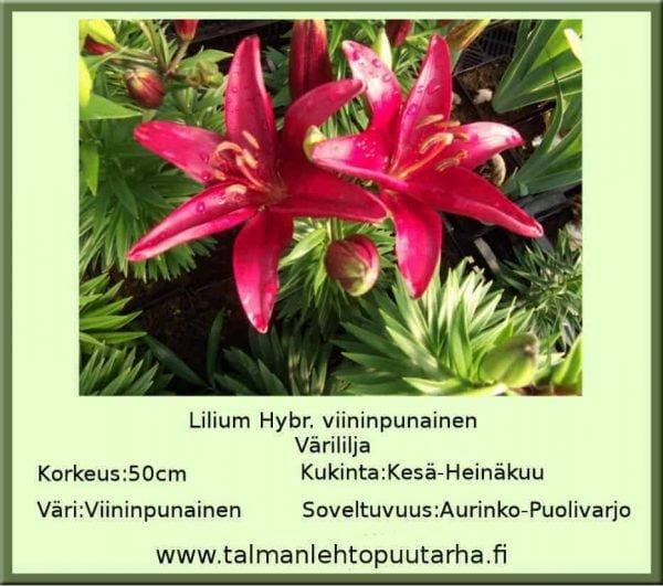 Lilium Hybr. Viininpunainen Värililja