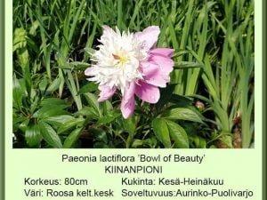 Paeonia lactiflora 'Bowl Of Beauty' Kiinanpioni
