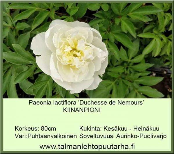Paeonia lactiflora 'Duchesse de Nemours' Kiinanpioni