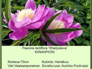 Paeonia lactiflora 'Wladyslawa' Kiinanpioni