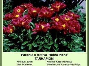 Paeonia x festiva 'Rubra Plena' Tarhapioni