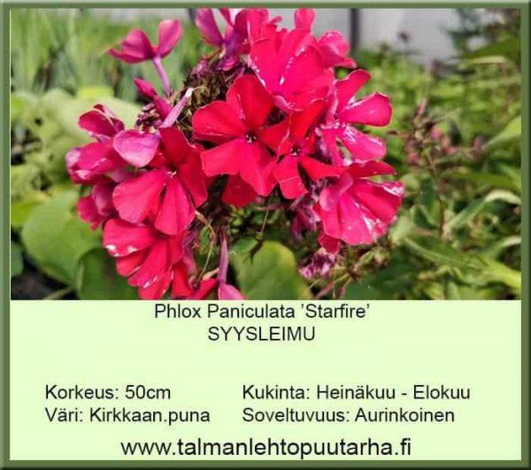 Phlox paniculata 'Starfire' Syysleimu