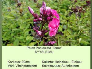 Phlox paniculata 'Tenor' Syysleimu