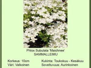 Phlox subulata 'Maischnee' Sammalleimu