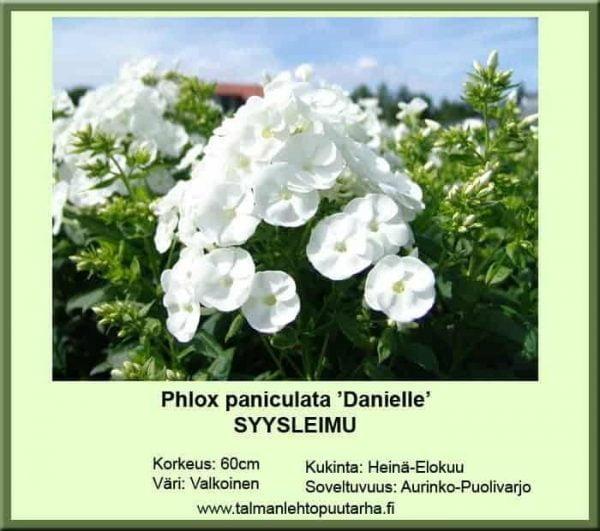 Phlox paniculata 'Danielle' Syysleimu