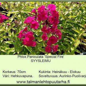 Phlox paniculata 'Special Fire' Syysleimu