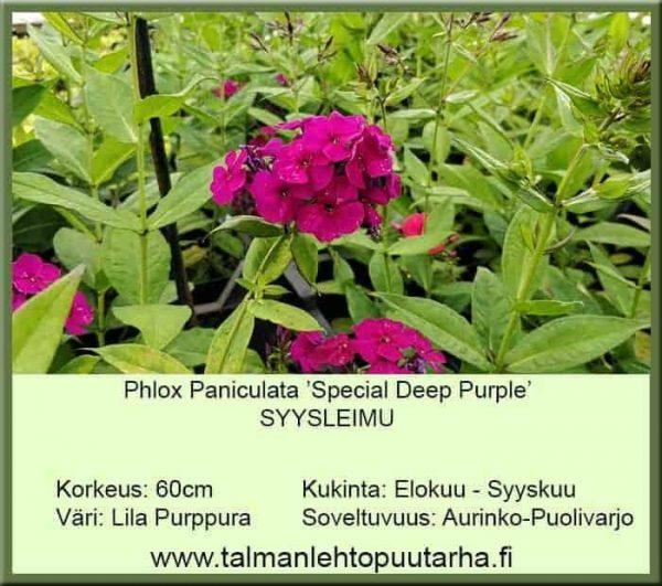 Phlox paniculata 'Spesial Deep Purple' Syysleimu