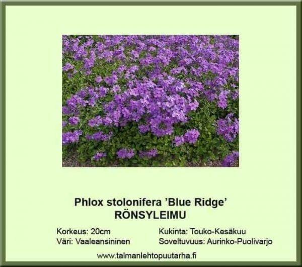 Phlox stolonifera 'Blue Ridge' Rönsyleimu