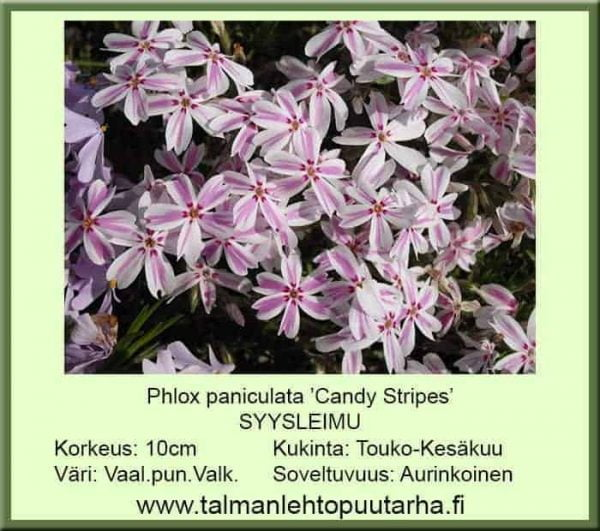 Phlox subulata 'Candy Stripes' Syysleimu